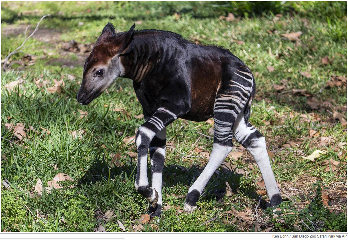 A four-week-old male okapi calf explores his outdoor habitat for the first time at the San Diego Zoo Safari Park in Escondido, Calif