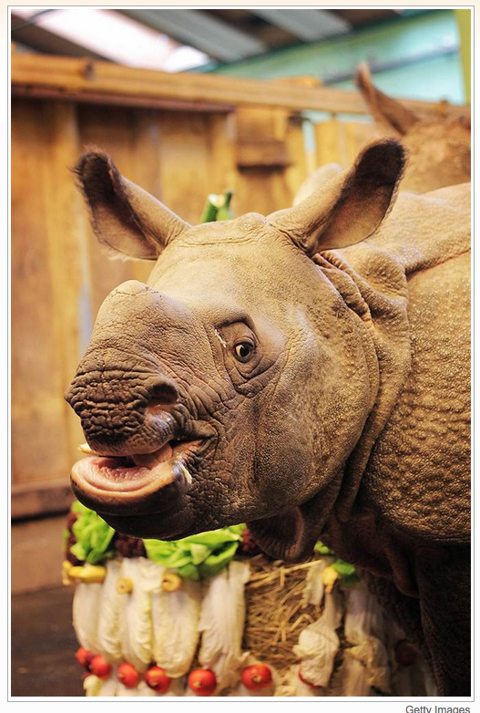 A rhinoceros called Maruska eats a vegetable birthday cake at her first birthday