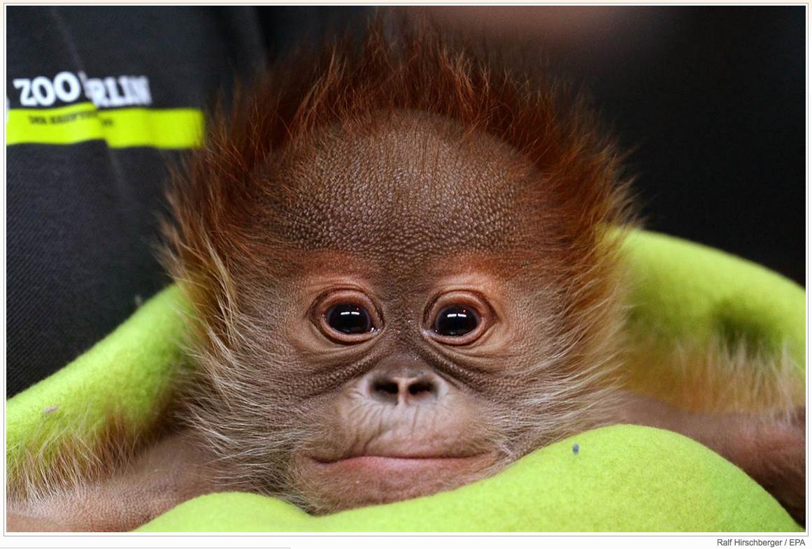 Newborn orangutan, Rieke