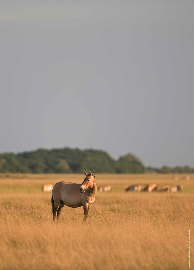 Beautiful, pregnant, wild mare.