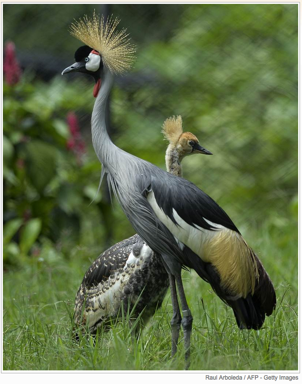 n endangered African gray crowned crane and her two-month old baby stand at the Santa Fe Zoo in Medellin, Colombia