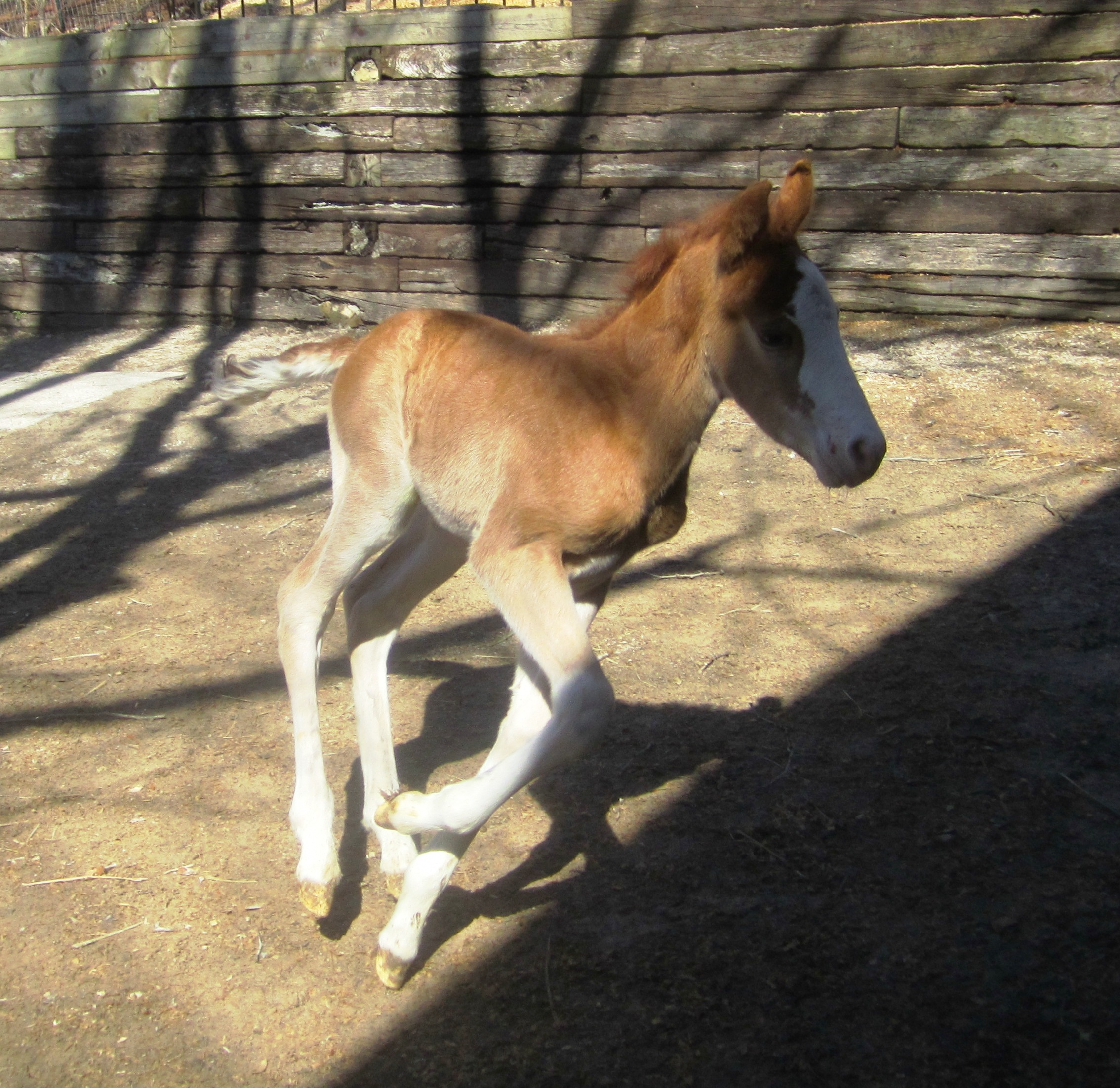 Click to learn about our March Bucket Fund:  The NurseMare Foals of LCC!