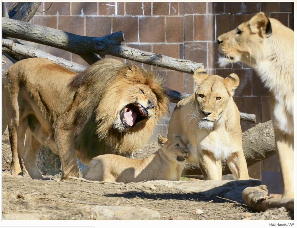 The three African lion cubs, born on Nov. 21, 2014, their mom Ahadi and aunt Mfisha, were put together for the first time with the father Mr. Big in the outdoor Cat Complex exhibit.