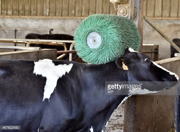 467622490-cow-rubs-it-self-against-a-mechanical-brush-gettyimages