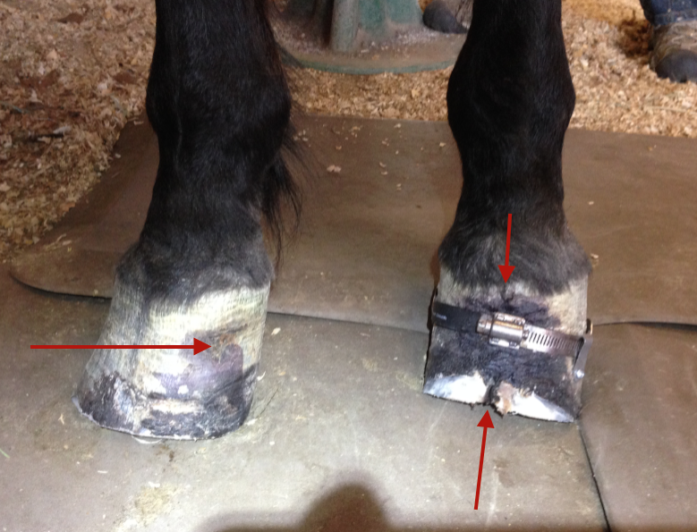 Tess' feet after the trim.  The right looks much better.   Her previous abscess point has closed up and grown down smoothly.   The left has a vertical crack due to damaged lamina.  She wears a Hoof Cinch to keep her walls from painful spreading when she weights this foot.  The Hoof Cinch really helps because she walks around and weights that foot all day long.