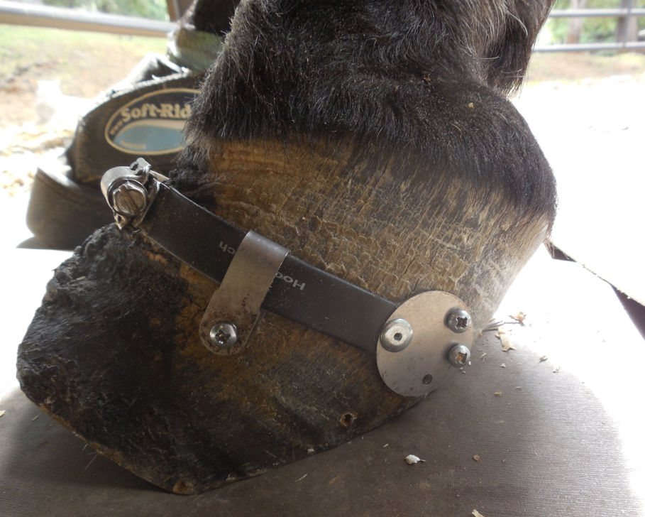 This is a sideview of her left BEFORE the trim.  You can see where she weights this foot and how the Hoof Cinch keeps the walls from spreading while the vertical hoof crack has a chance to heal.  This gives her added support so she can fully weight that foot.