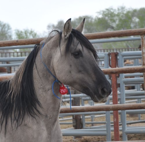 This is the beautiful 26 year-old Grulla that garnered so much attention for this sale... He has no idea what a good job he did - just being wise and beautiful.