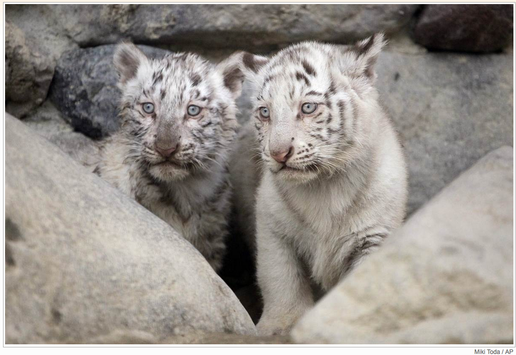 I know white tigers are man-made and not healthy... but this is a very pretty couple of cubs.