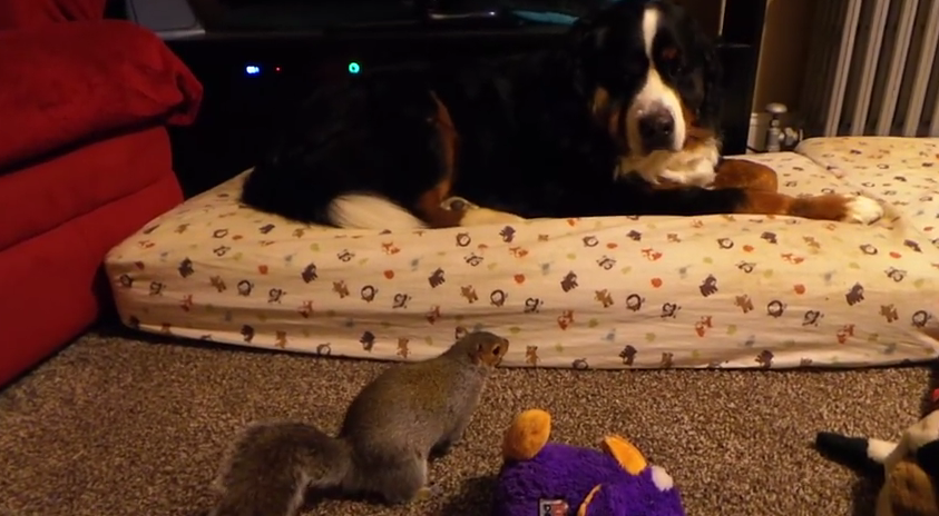 Click to watch the squirrel, Wally, try to bury his stash of nuts into Jax' fur.