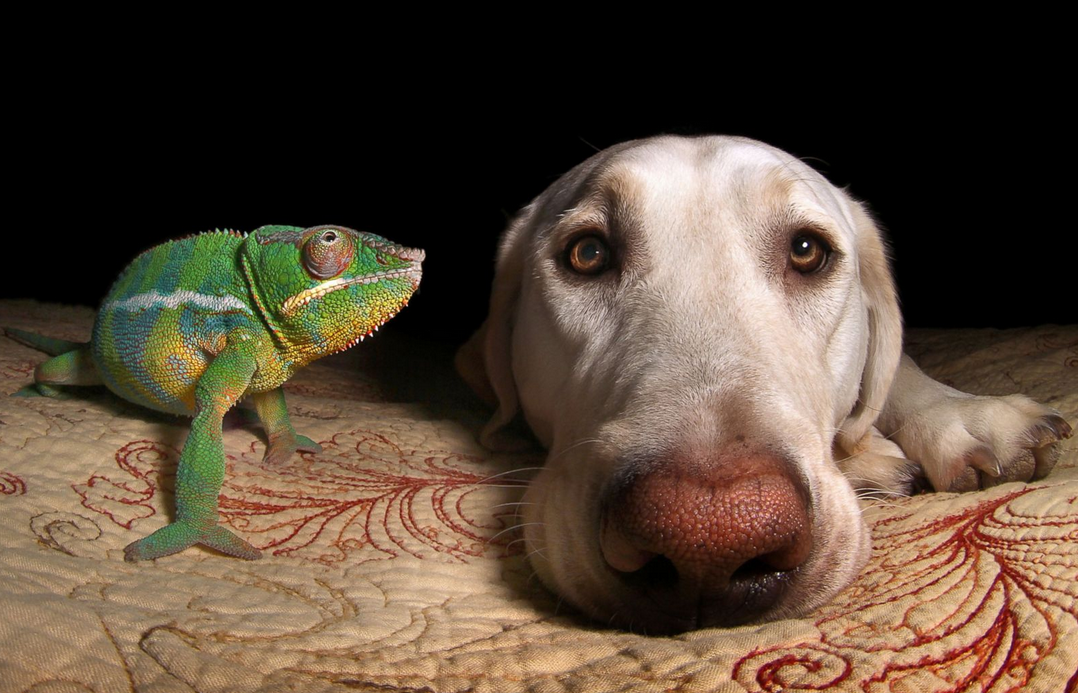 Meet the Labrador and chameleon who make the unlikeliest of best pals