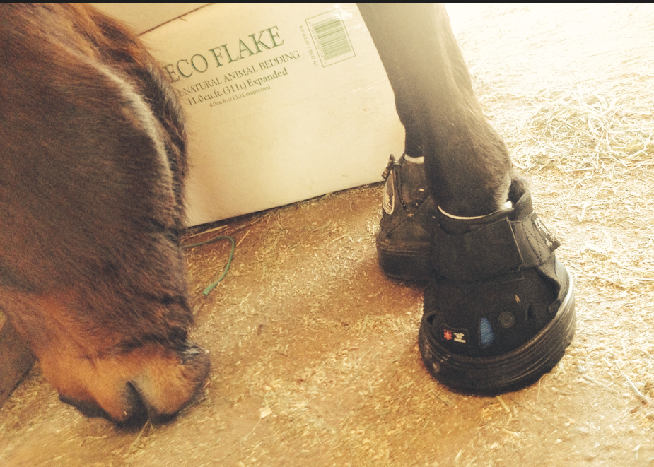 She wore out her size 5 Easyboot RX, so MT is now modeling a brand new size 4!