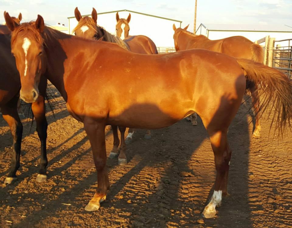 Sorrel filly, 2 yrs old, strip & left hind sock (daughter of sorrel 5 yr old mare) $300