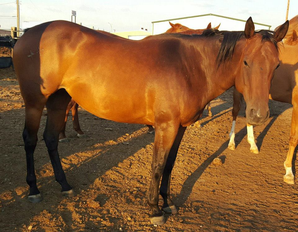 Bay mare, 5 yrs old, pregnant $600