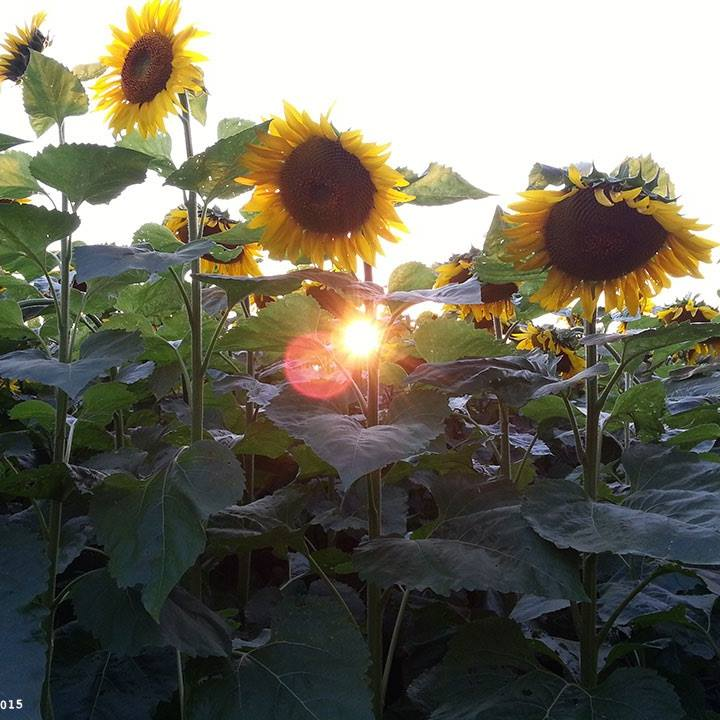 One of the photos of the sunflowers from the FB page.