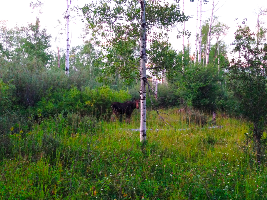 It looks like daytime but it was really almost dark when i took this of a moose right outside our cabin!  (I retouched the photo so you could see her.)