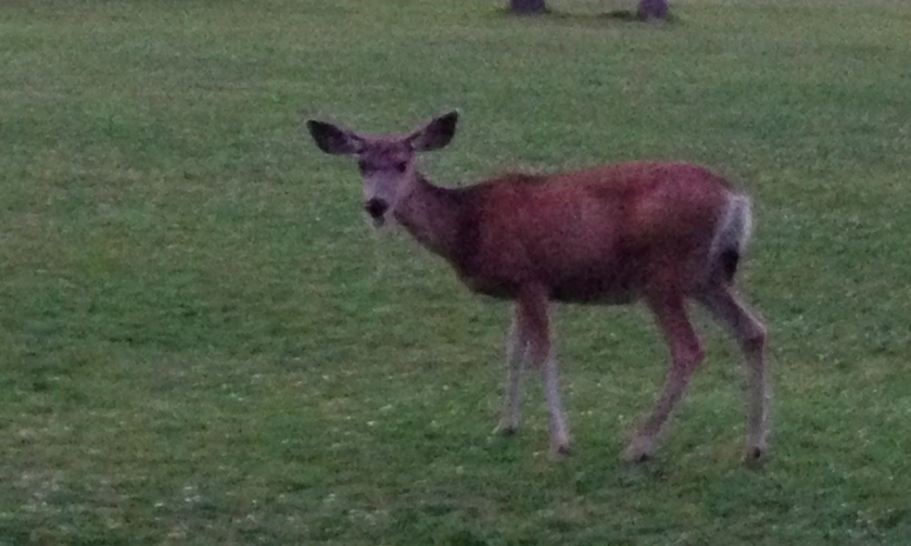 It was almost completely dark - and this doe appeared in front of our cabin.  Lovely.