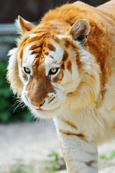 The-Golden-Tiger
