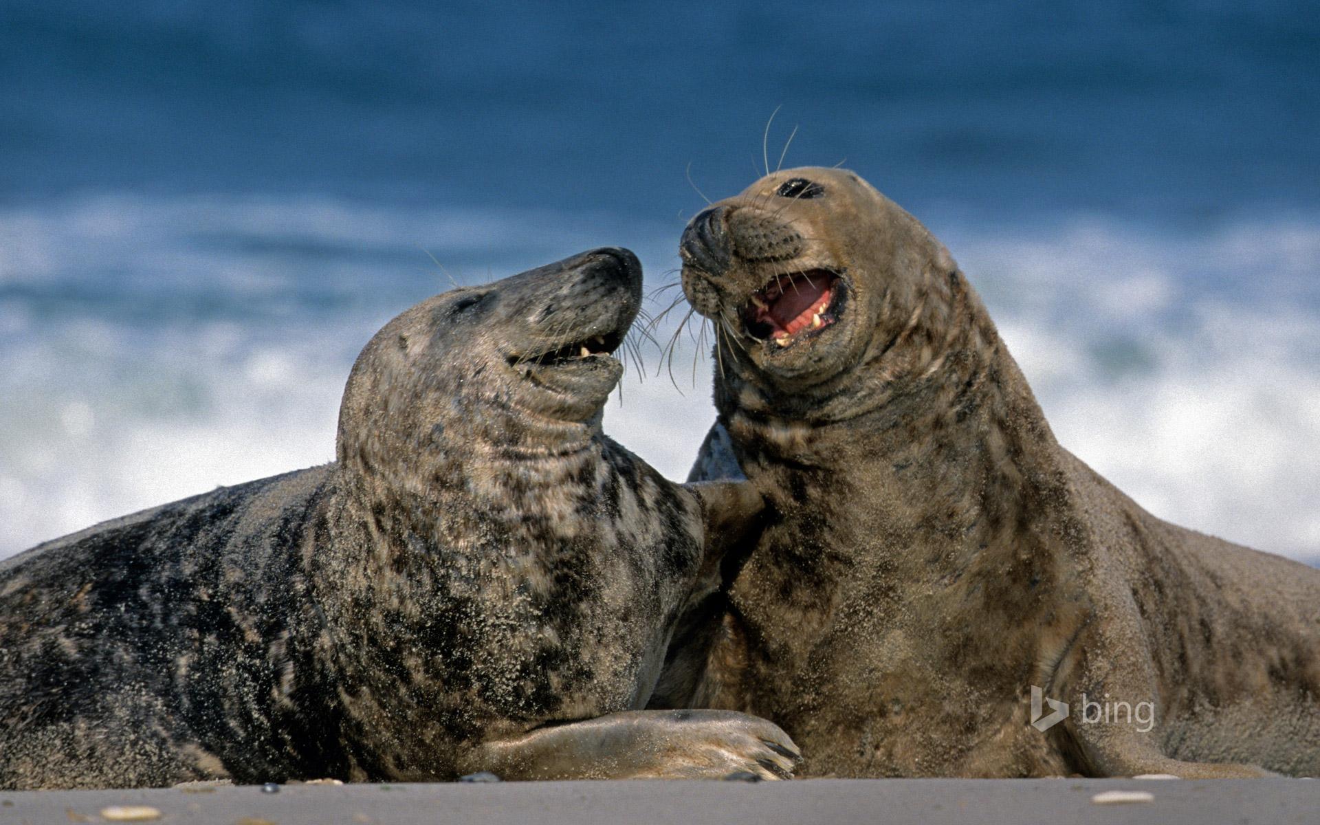 Grey seals at Heligoland, Germany