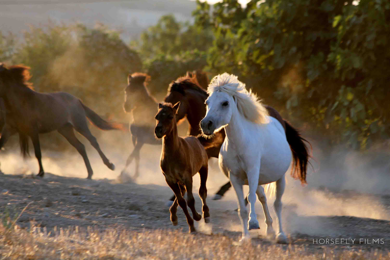 The beautiful, tiny and mighty Skyrian horses!