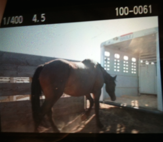 Marlene gave me this photo of the mare loading on the auction yard - without a halter. She stepped right in. From there, she came directly here. 3 hours and 15 minutes.