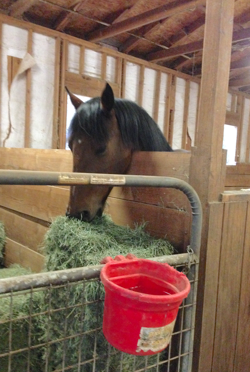Bodhi is taller than MT... as you can see, he is helping himself to the stored hay.