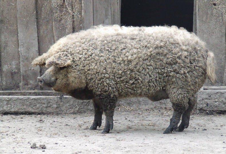 Mangalica pig