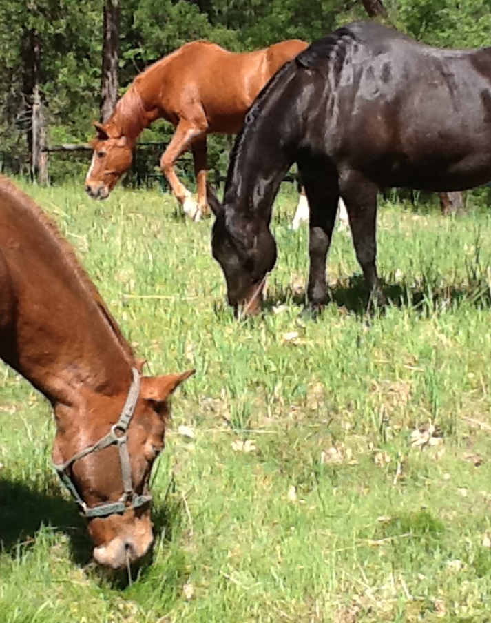 Monique sent this photo to me of her recently deceased 32 year old gelding and her two other horses.