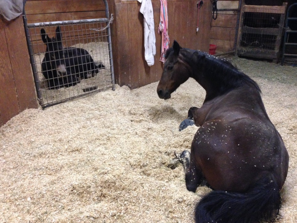 I had to share this... Norma wanted to have a slumber party with Mama Tess... when I walked down to the barn tonight to put on Tess' blanket, they were like this. You can see that MT was not happy that I had disturbed their rest!