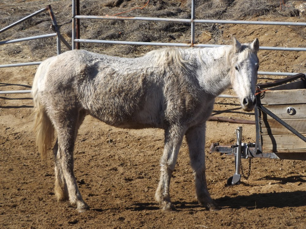 Here she is this morning! Yes, she's a mudball, but she has filled out tremendously! The round of heavy antibiotics and FOOD have really helped this older mare feel ALIVE again! Thank you, Golden Carrot!
