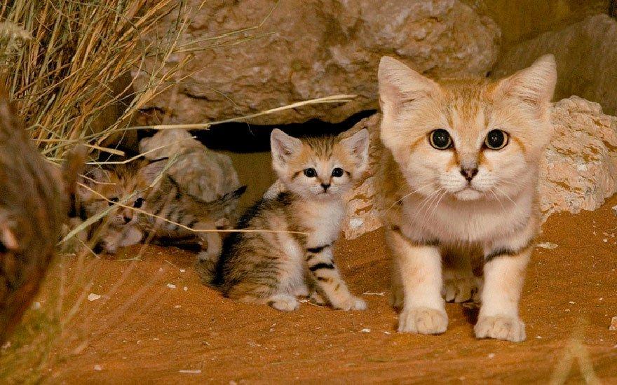 felinos-salvajes-inusuales-3