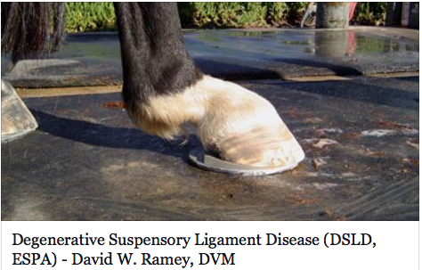 An update on Degenerative Suspensory Ligament Disease - Horse and Man