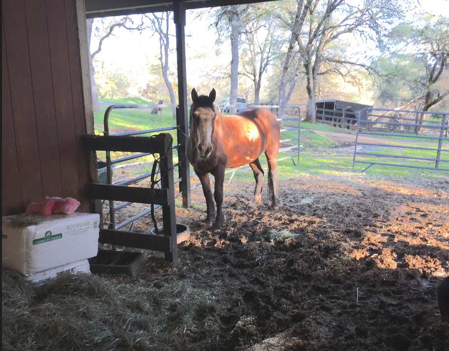 Here you can see that the entrance to the barn is very muddy. The hay room door is right there... but I made a pile of the excess hay anyway and she was delighted! Below her is a bowl of alfalfa cubes, in front of her is tasty hay morsels from the hay room and behind her is an open gate! Mare Bliss!