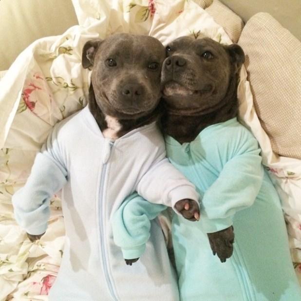 foto-pitbull-adorable1-1