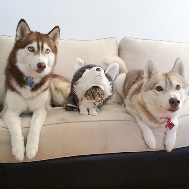 gato-rosie-amistad-3-perros-huskies-4