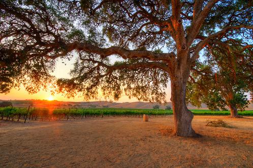 vineyard-image