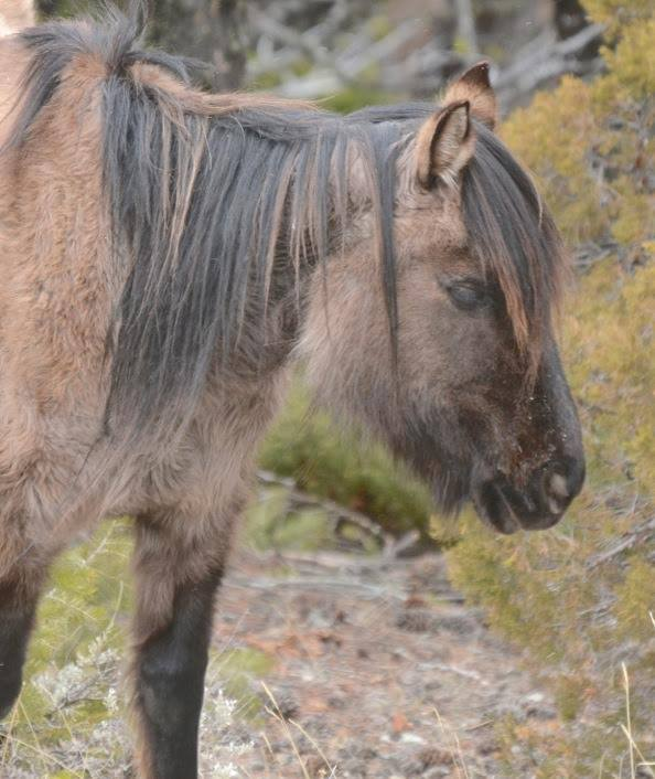 we were privileged to find the oldest horse, the mare Winnemucca who turns 29 this year