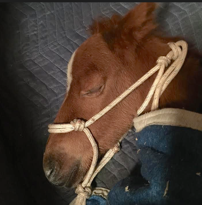 Thumbelina was only 48 hours old when she was ripped from her mother. She crashed this morning and was rushed to the Emergency Vet for Plasma.