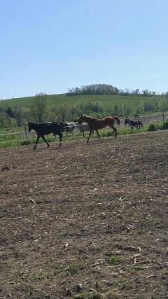 This is a photo of Dolly and Lady (taken from a video) on their first day OUT in a paddock in 3 years!
