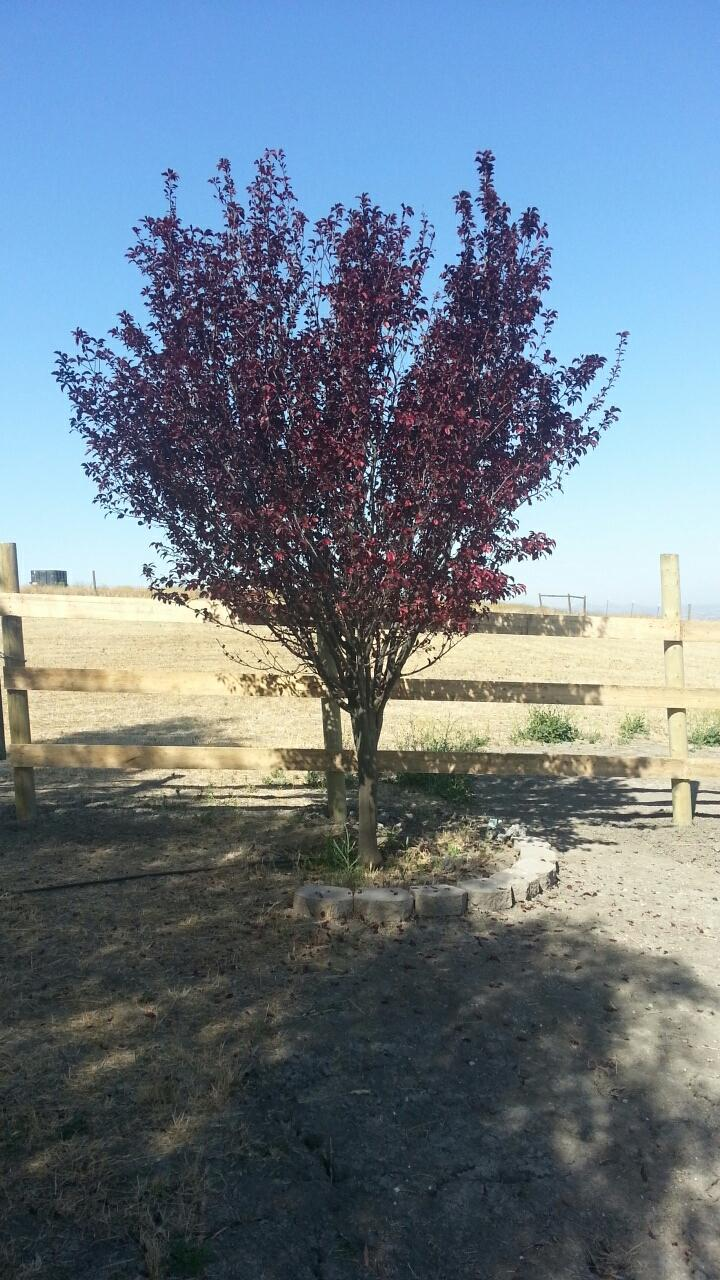 Hubby sent this pic of our plum tree, which is right near one of the improperly sized gates... Yes, I have seen it...