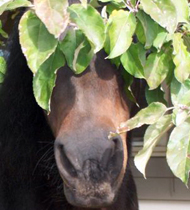 Gwen raiding the apple tree. She is a very silly girl!