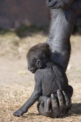 January 2005, Albuquerque, New Mexico, USA --- Baby Gorilla Sitting on Mother's Hand --- Image by © DLILLC/Corbis