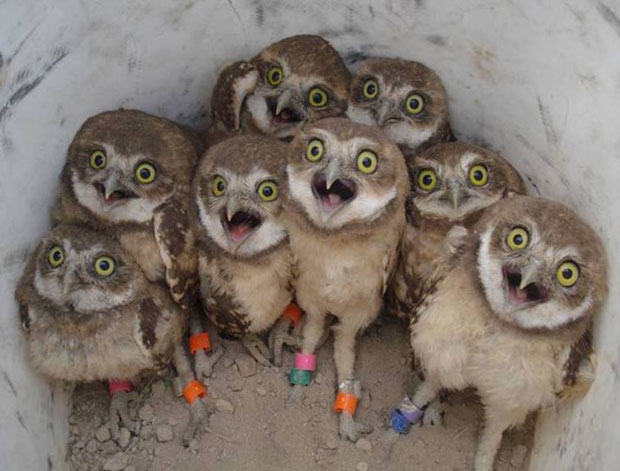 Owl_group