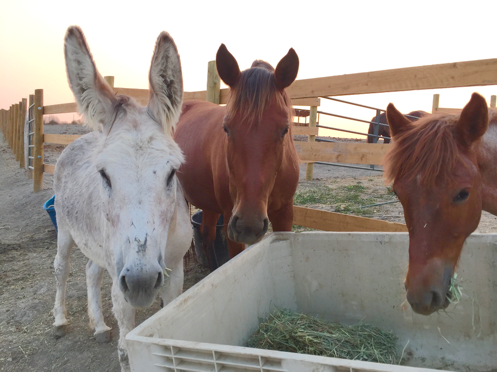 Satchmo, the white BLM donkey, Rebecca, the red (soft eyed) 6 year old mustang mare and little Opie - the red roan long mustang yearling.