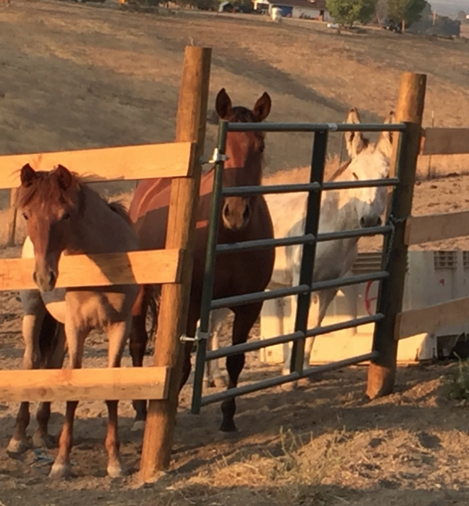 They have their own paddock - although I have let them in with all the others. Annie picks on Opie, so I have to be careful. But the larger group, headed by Rojo, have been fairly good to them - so far.