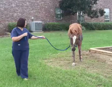 Click the image of Sugar to watch the video of her walking today.