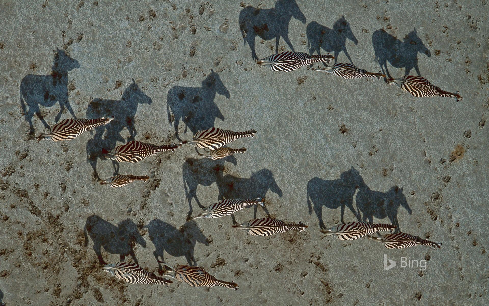 Burchell's zebras crossing the Makgadikgadi Pan in Botswana