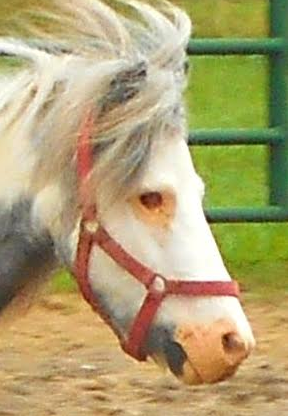 This is the mini stallion who lost his eye because it was not treated.