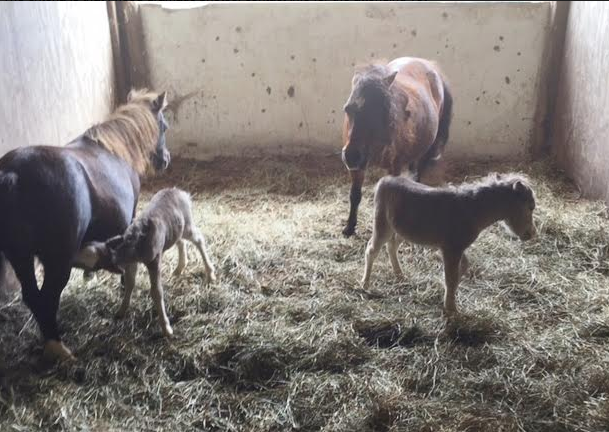 These are the new mama's with tiny foals. All have eye injuries or eye infections.