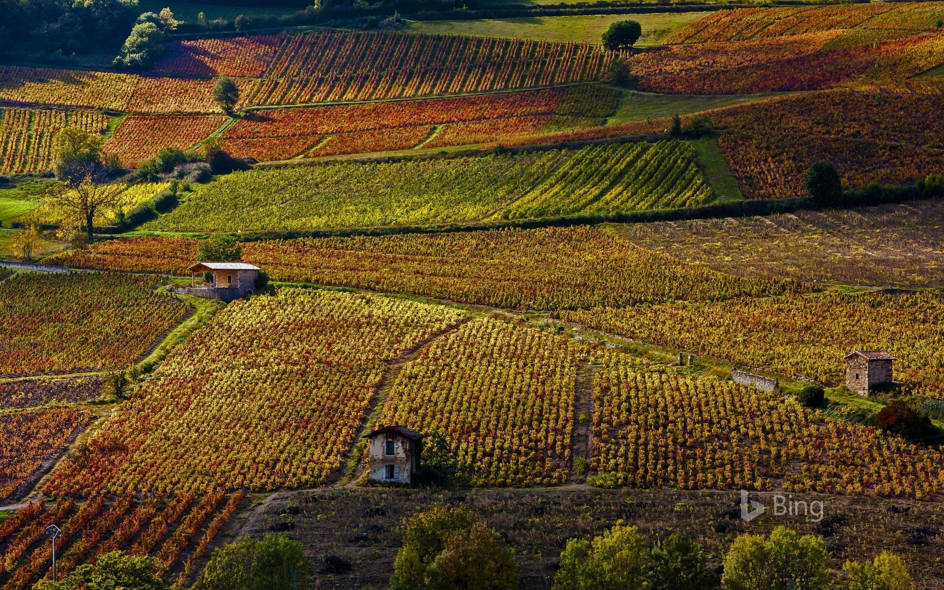 Vineyards near Beaujeu, Rhône, France