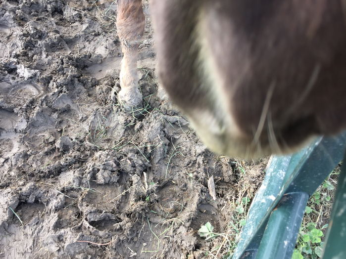 This is Finn, supervising me putting the gate back up. You can see how gooey the soil becomes when it is wet. This is how Wrig slipped and slid into the gate. He was probably goofing around and fell.